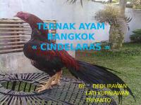 TERNAK AYAM BANGKOK.pptx